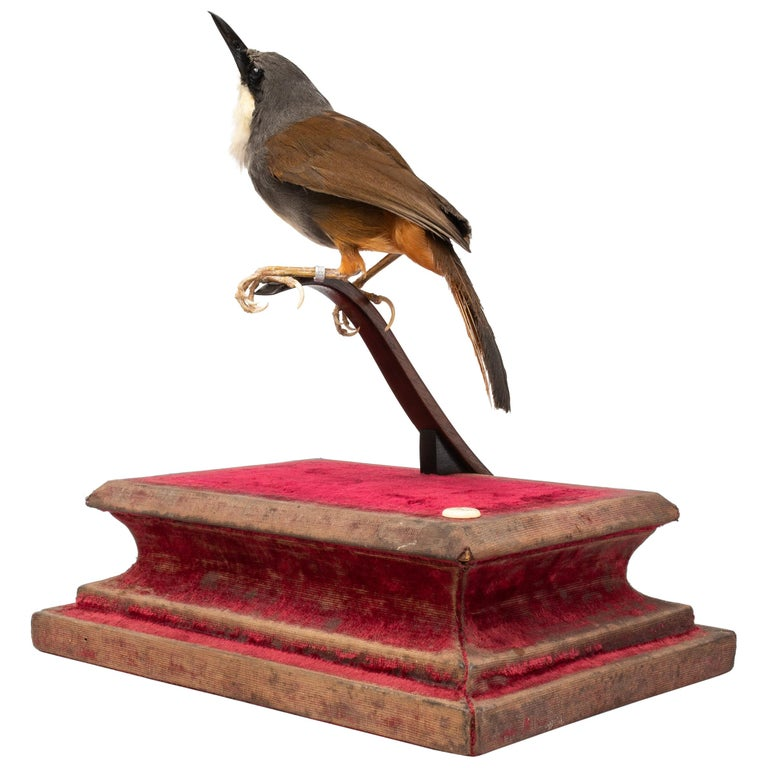 Rufous-Vented Laughinthrush Fine Taxidermy by DS&vT 1