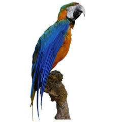 Large Taxidermy Macaw Parrot