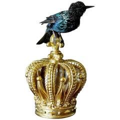 Bird Taxidermy European Starling, Sturnus Vulgaris Gold Crown