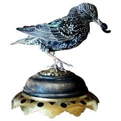 Bird Taxidermy European Starling 'Sturnus vulgaris' Brass Wood Base
