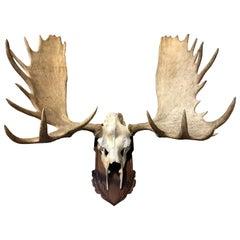 Imposing pair of antlers of a big Canadian moose