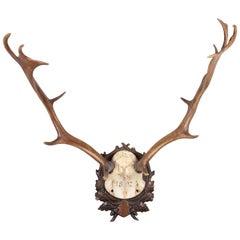 Habsburg Fallow Deer Trophy of Emperor Franz Josef from Eckartsau Castle