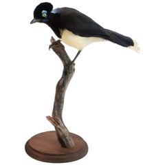 Plush Crested Jay Mounted Taxidermy Specimen
