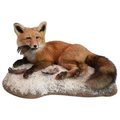 Alaskan Red Fox Taxidermy Specimen