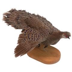 Burmese Peacock Pheasant Taxidermy