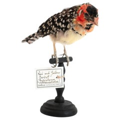 Red and Yellow Barbet Mounted Taxidermy Specimen