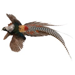 Lady Amherst Pheasant Wall Mounted Taxidermy Specimen