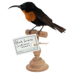 Black Sunbird Mounted Taxidermy Specimen