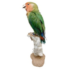 Taxidermy Love Bird Parrot on Stand