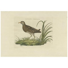 Antique Bird Print of the Spotted Crake by Sepp & Nozeman, 1809