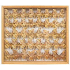 Shadowboxed Collection of Farm Raised Moths in a Maple Case