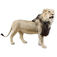 Rare African Study of a Male Lion Taxidermy
