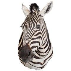 Late 20th Century Rare African Taxidermy Burchell Zebra Head