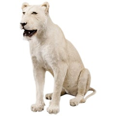 Magnificent Late 20th Century White Lioness in Sitting Pose