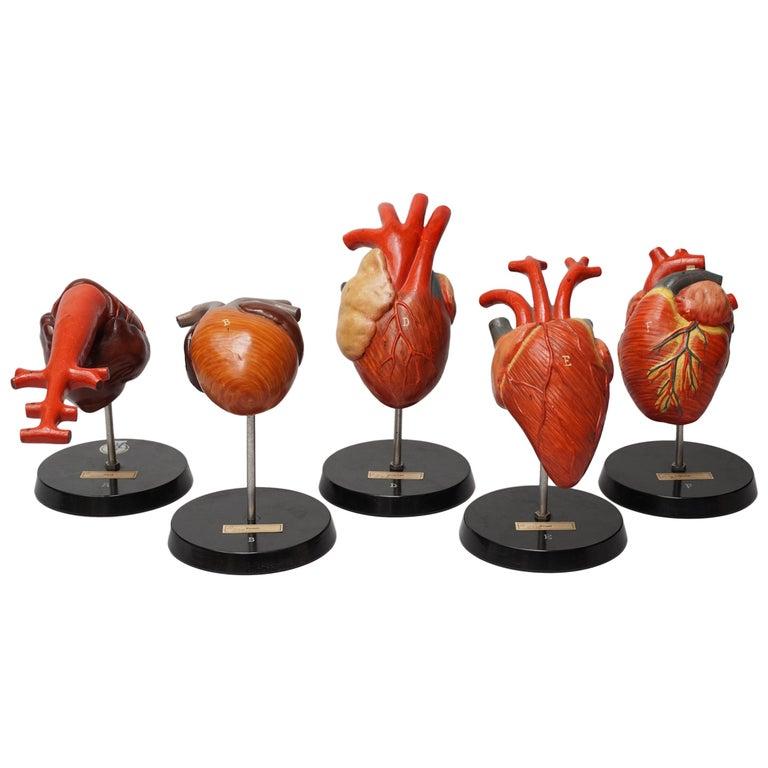 Five 1950s German Anatomical VEB SVL Models of Animal Hearts For Sale