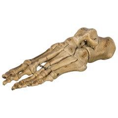 Antique Foot Skeletal Teaching Model, circa 1810