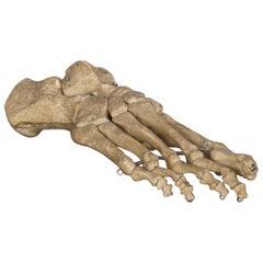 Skeletal Foot Anatomical Teaching Model, circa 1930