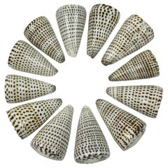Twelve Conus Leopardus Shells