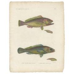 Antique Fish Print of the Epinephelus Areolatus and Epinephelus Aeneus, 1809