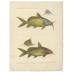 Antique Fish Print of the Synodontis Membranacea and Pimelodus Clarias, 1809