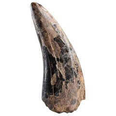 Adult T. Rex Tooth Fossil - Tyrannosaurus