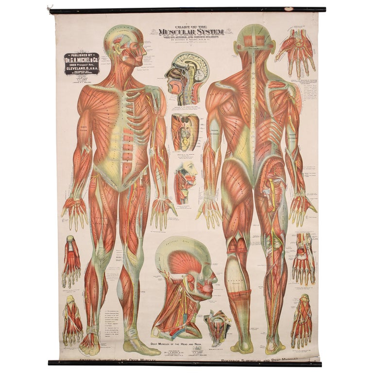 Antique Chart of The Muscular System by Gustave H. Michel For Sale