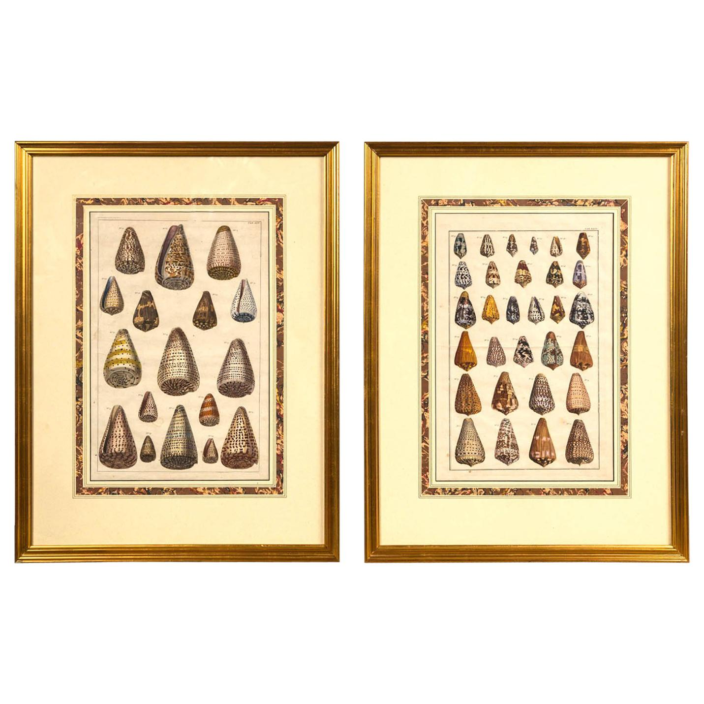Pair of Framed Hand-Colored Lithographs of Shell Species, 19th Century