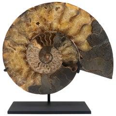 Fossilized Mounted Ammonite Slice on Custom Black Metal Base