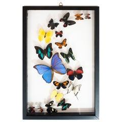 Double Glass Mounted Butterflies in Flight