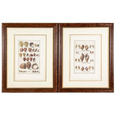 Niccolo Gualtieri, Florentine Conchologist/Artist, Two Framed 1742 Engravings