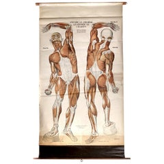 1918, Frohse Anatomical Chart - Musculature