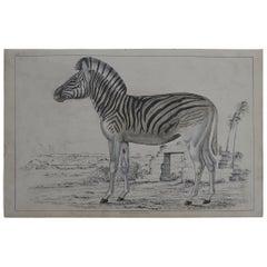 Original Antique Print of a Zebra, 1847 'Unframed'