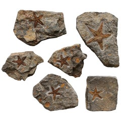 Cluster of Starfish Fossils