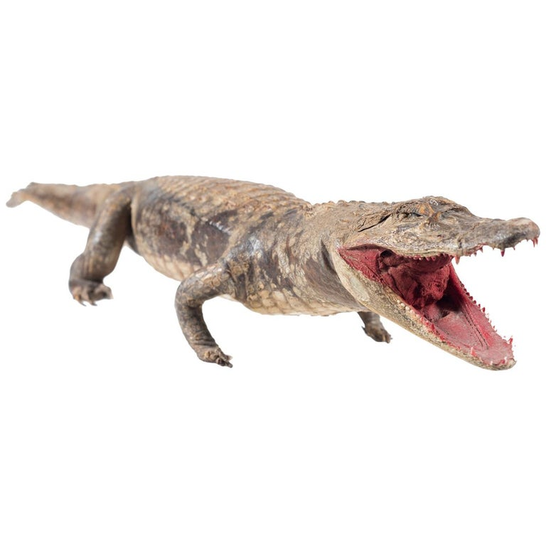 Three Vintage Embalmed Crocodiles, First Half of the 20th Century For Sale