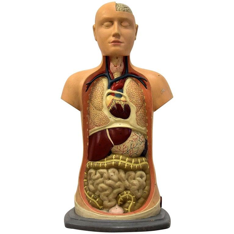 Italian Midcentury Anatomical Educational Torso For Sale