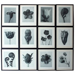 Group of Twelve Framed Botanical Photogravures by Karl Blossfeldt, Berlin, 1929