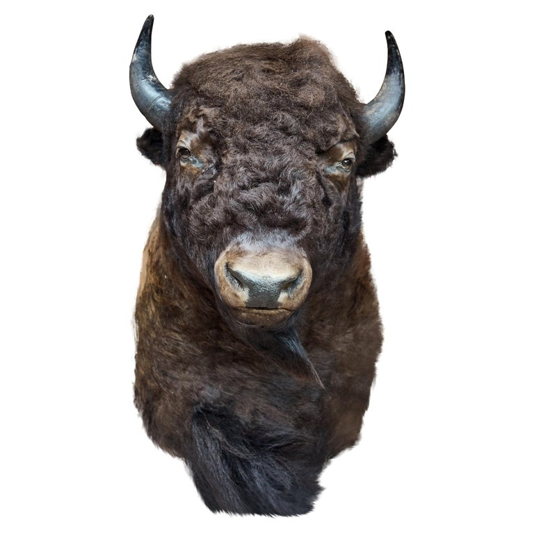 Bison Are Ready For Thanksgiving >> Large Taxidermy American Bison From Montana