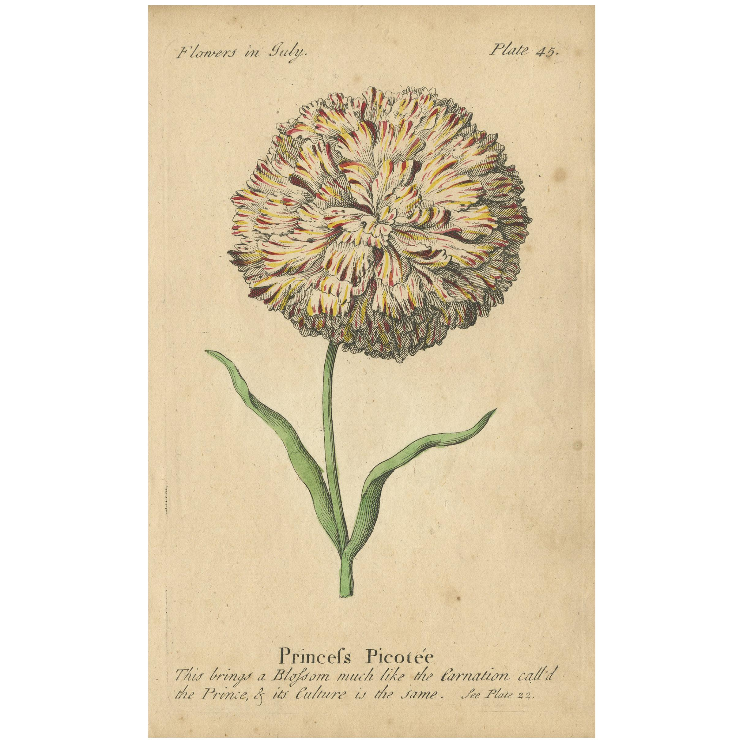 Antique Print of Picotee Princess and the Painted Lady Carnation Flower, 1747