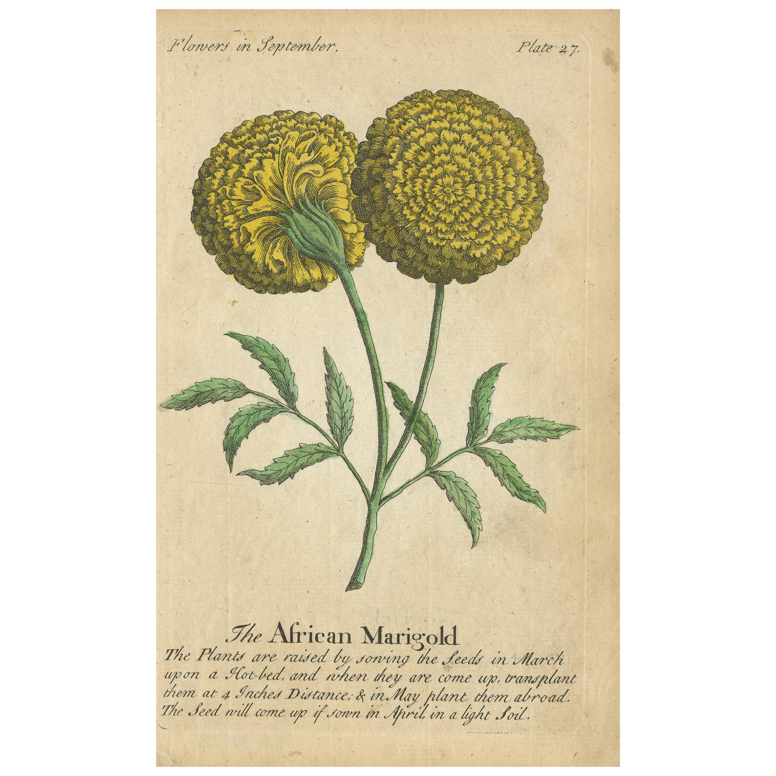 Antique Print of the African Marigold Flower, 1747
