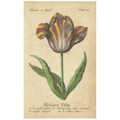 Antique Print of the Harlequin Tulip and Olympic Flame Tulip, 1747