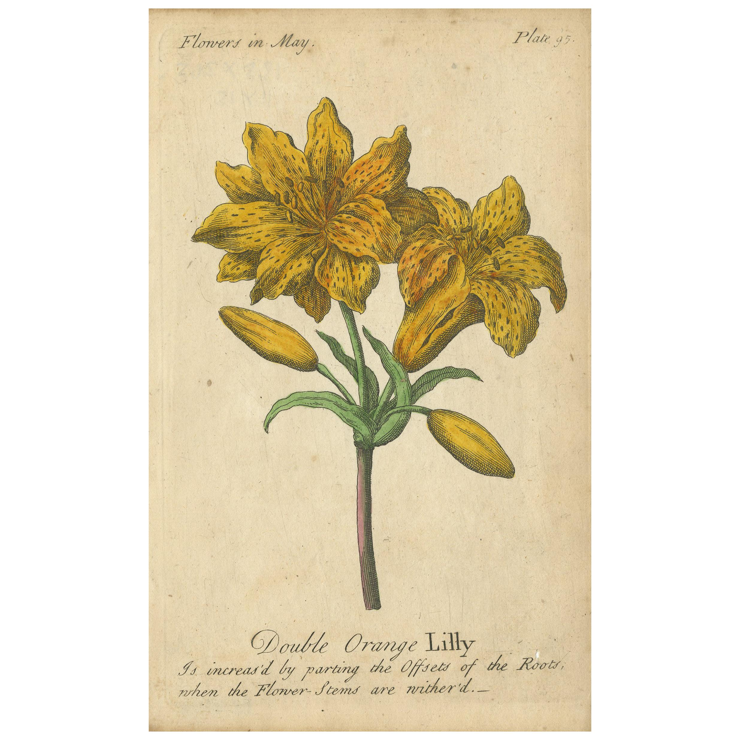 Antique Print of the Yellow Austrian Rose, Cinnamon Rose and Orange Lilly, 1747
