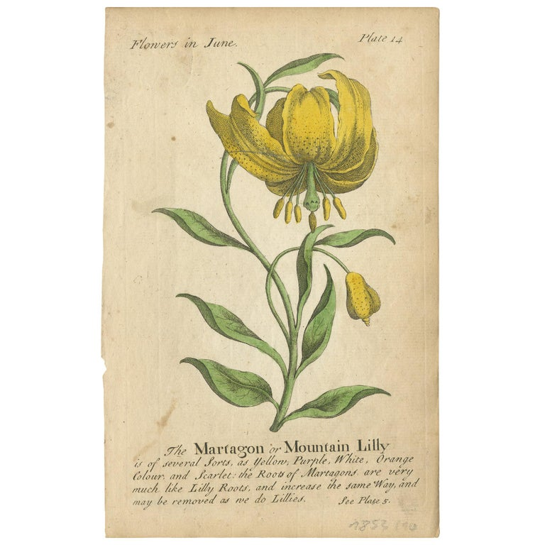 Antique Print of the Mountain Lily and Rosa Mundi, 1747 For Sale