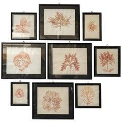Early 20th Century Set of Nine Dried and Framed Marine Algae Herbarium Specimens