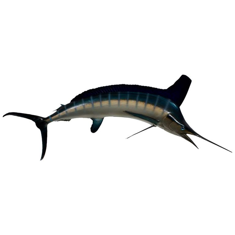 Marlin Skin Mount Taxidermy Fish