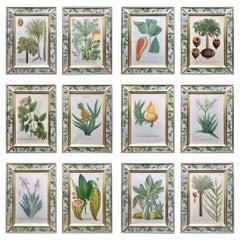 Johann Weinmann Botanical Engravings of Exotic Plants