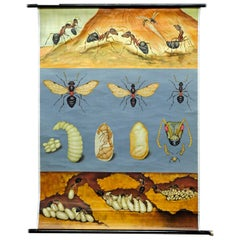 Vintage Wall Chart Picture Poster, Red Forest Ant, Insects, Eggs, Larva, Doll