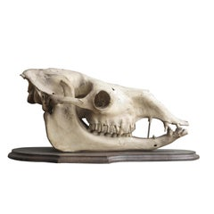 Camel Skull on Mahogany Mount