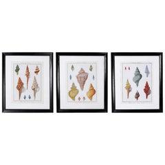Set of Three Large Seashell Engravings