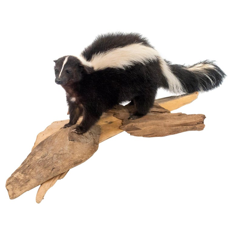 Taxidermied Skunk Mounted on a Naturalistic Wood Base For Sale