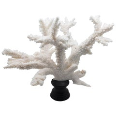 Branch Coral Mounted on Custom Black Wooden Base